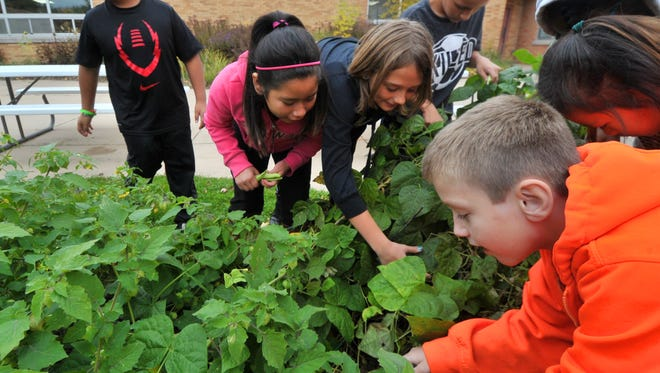 A group of fourth-graders at Thomas Jefferson Elementary School on Wausau's northwest side forage for green beans and other vegetables during Renee Heinrich's science class on Tuesday, Oct. 13, 2015.