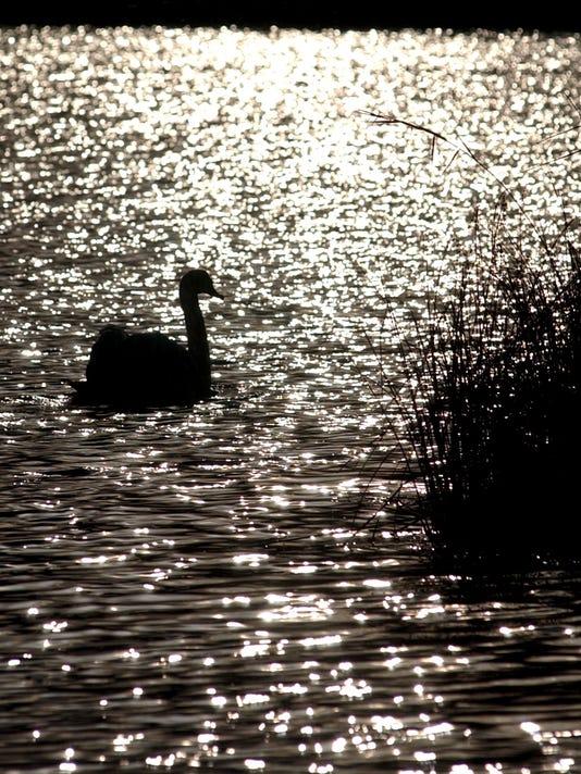 mute swan on morgan lake.jpg