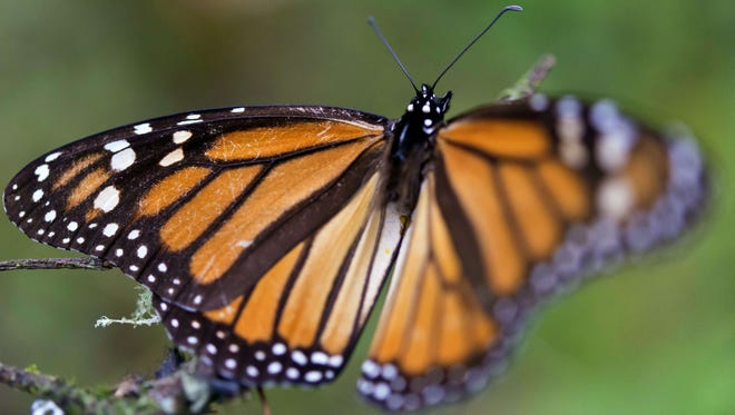 A Monarch butterfly (Danaus plexippus) at the oyamel firs (Abies religiosa) forest in Temascaltepec, Mexico on November 12, 2015. Monarch butterflies almost quadruple the forest area they occupy during their hibernation in Mexico thanks to actions taken by the three North American governments to reduce threats faced by this species on their migration from Canada, according to the Mexican Environment Minister.  AFP PHOTO/OMAR TORRES        (Photo credit should read OMAR TORRES/AFP/Getty Images)