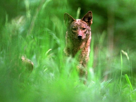 2 MNCO 0329 Feature on Ohio's Coyotes 2.jpg