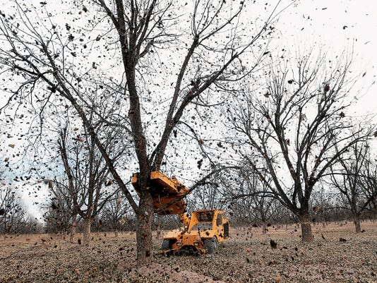 MARK LAMBIE—EL PASO TIMES  Pecans fall from the trees at Rio Bravo Farms as the crew at the farm harvests the pecans Monday.