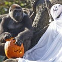 Thursday, October 6, 2011: GORILLAS/ LOCAL:  One of the Western Lowland Gorillas enjoys a pumpkin during the annual pumpkin hunt at the Cincinnati Zoo. It was the kickoff of HallZOOween. The pumpkins were scattered around their Gorilla World on Thursday, October 6. The head of the ghost was actually a plastic pumpkin container filled with their favorite treats of granola, raisins, sunflower seeds, peanuts, grapes, popcorn and apples.