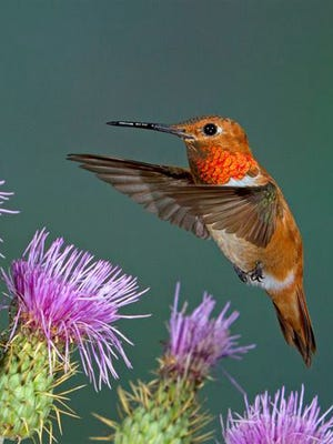 Learn about hummingbird at the annual High Country Hummers Festival.
