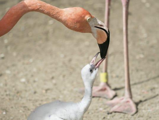 636360499536062032-Precocious-Flamingo-Chick.jpg