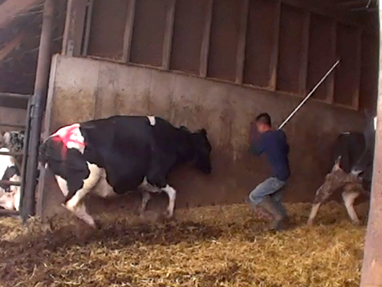 A screen capture of shows a farm employee hitting a