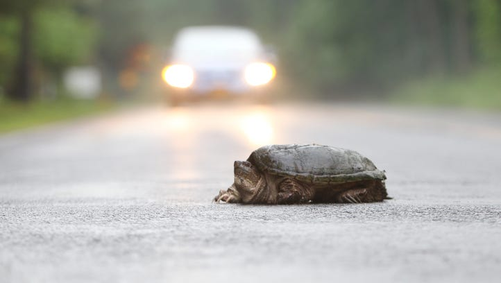 A snapping turtle crosses Western Highway Blauvelt