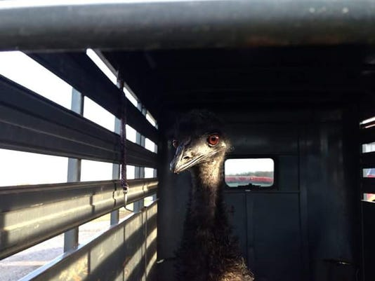 Emu captured