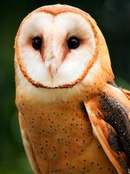 AP_Barn_Owl