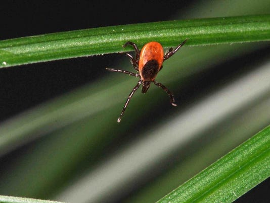 Black-legged-wood-tick.JPG
