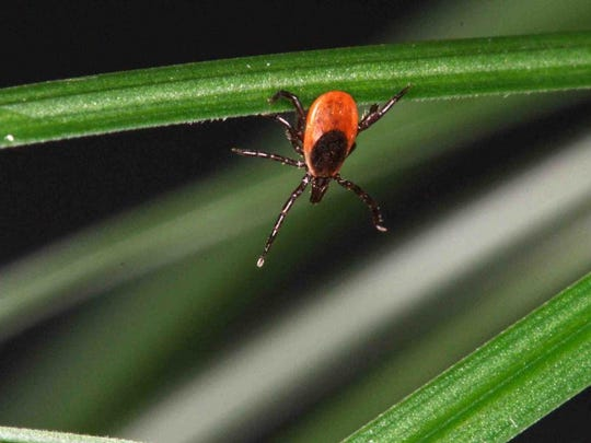 Deer ticks, also known as black-legged ticks, are noticeably
