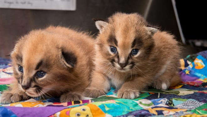 2-week-old caracal kittens receive a health check at the Oregon Zoo.