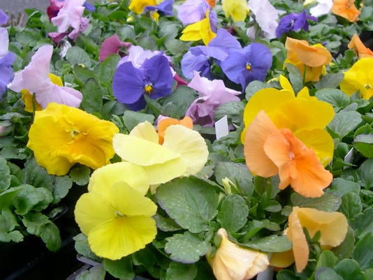 Grow pansies in winter theyll last into spring mightylinksfo