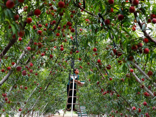 Melvin Horst picks Fire Zest cling peaches for Studebaker Farms on Thursday, April 20, 2017. Central Texas had the warmest winter in 22 growing seasons, said Jim Kamas, horticulturist at Fredericksburg.