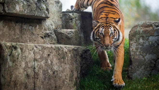Arya, Zoo Knoxville's newest tiger, in her habitat in the zoo's new Tiger Forest on Tuesday, March 28, 2017.