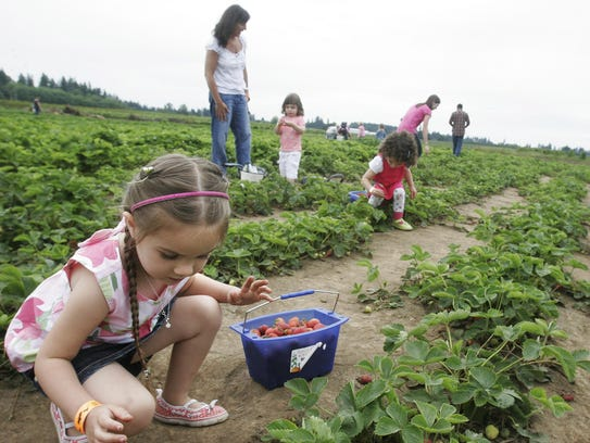 Pick your own strawberries at Berries, Brews & BBQs