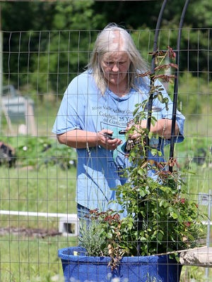 Master Gardener Beth Chronister of Lavaca prunes rose bushes, Saturday, June 6, 2020, around the Learning Fields at Chaffee Crossing as she joins others preparing the site for summer visitors and classes. The Learning Fields at Chaffee Crossing is partnered with the River Valley Master Gardeners. Staff and volunteers provide hands-on experience and classrooms on gardening education.