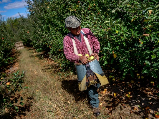 Tomas Gutierrez picks apples at the Phillips Orchards