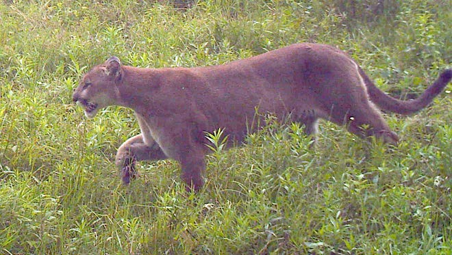 The DNR has confirmed this cougar captured on a trail camera in Lincoln County in July 2014.