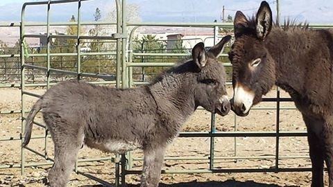 A one-month-old donkey nuzzles another donkey.
