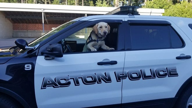 Zane is a certified service dog working with the Acton Police Department.