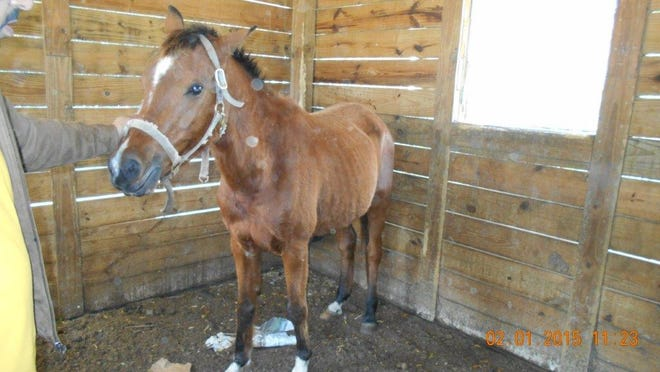 Since the seizure, the three remaining horses have been rehabilitated back to health and are in the process of evaluation for possible adoption and finding suitable homes. This is Sultan.