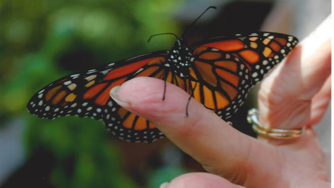 A Monarch butterfly rests on Barbara King's finger before flying away.