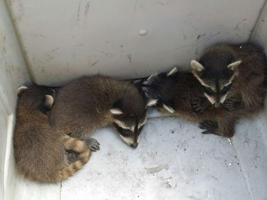 This family of racoons was relocated by Varmint Nabbers,