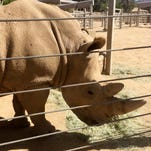 White rhino pregnancy in San Diego stirs hope for a nearly extinct species