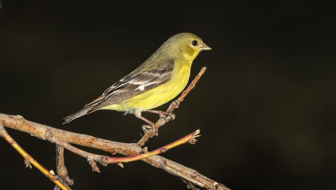 Female lesser goldfinch.