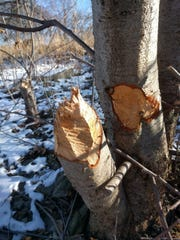 Evidence of beaver activity: A gnawed tree in Lincoln Park along the Milwaukee River.