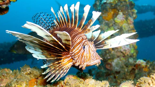 A provided photo of the Lionfish.