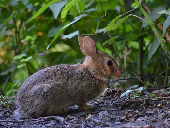 Cottontail and squirrel season may open on the same