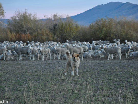 A karakachan guards sheep in Idaho.