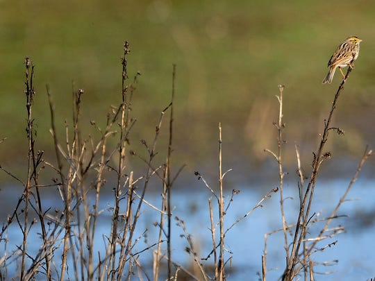 A savannah sparrow during a Salem Audubon Society field trip at Ankeny National Wildlife Refuge, on Sunday, near Jefferson.