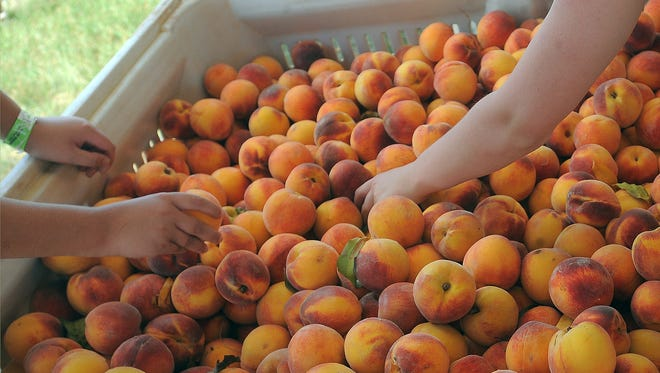 PHOTOS BY Jay Pickthorn / Argus Leader People attending the South Dakota Peach Festival pick peaches to buy. Hundreds of peaches to choose from at the South Dakota Peach Festival at Yankton Trail Park on Sunday, July 26, 2015.