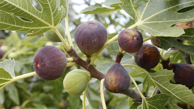 Figs have three growing seasons, but in the desert one never produces.