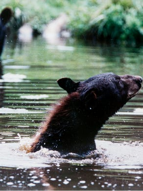 1993: Black bear cubs cool off in the pond at Great Adventure Safari