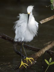 An egret shows its plumage.