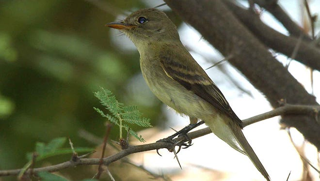 A Southwestern willow flycatcher, which favors trees and shrubs near waterways, has been listed as an endangered species since 1995.