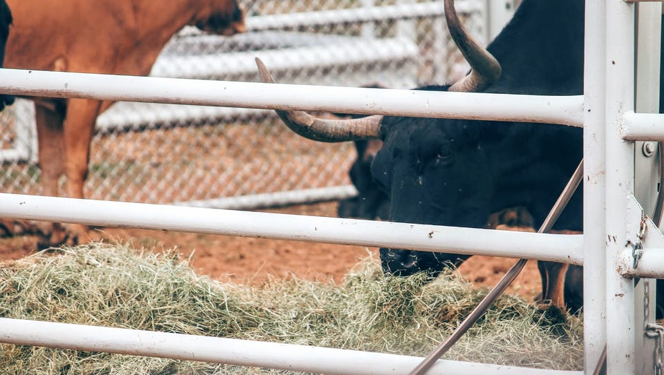 A bull grazes on some hay at the Otero County Rodeo