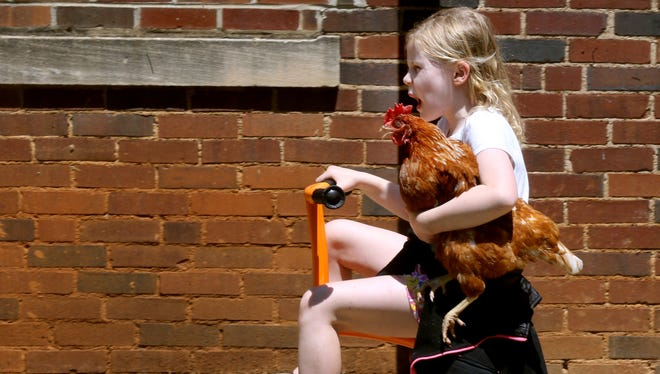 Julie Crass seems to be one with the school's pet chicken during a ride around the Homer Pittard Campus School yard on Wednesday, April 26, 2017.