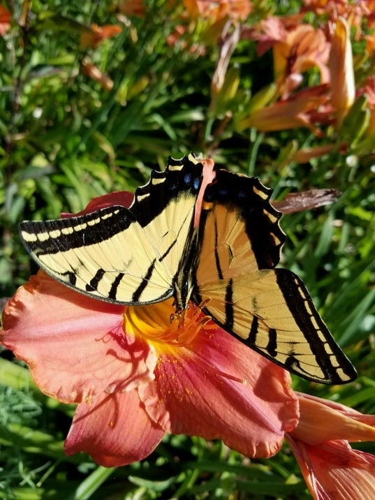 Butterflies coming to gardens on spring creek - Dow gardens butterfly house 2017 ...