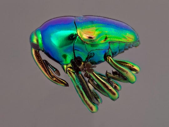 A weevil collected in Costa Rica by Nico M. Franz in
