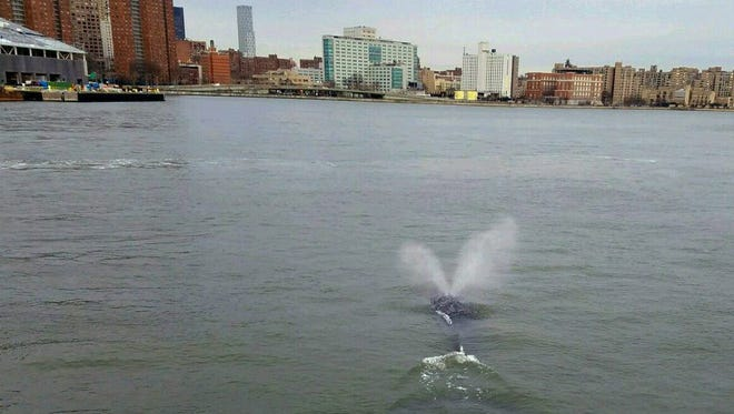 A whale spouts water as it swims in the East River in New York.