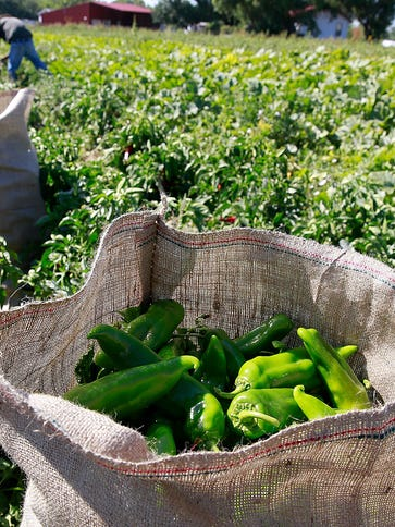 Workers harvest green chiles during Sutherland Farms'