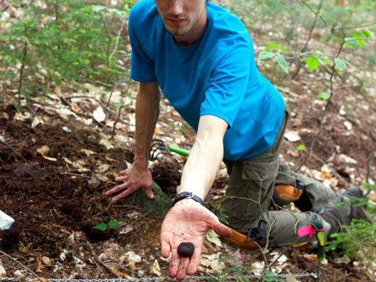 In this 2014 photo provided by the University of New Hampshire, doctoral student Ryan Stephens finds a truffle in the Bartlett Experimental Forest in the White Mountain National Forest in New Hampshire.  Researchers at the New Hampshire Agricultural Experiment Station at UNH identified and described five new truffle species that while not the type prized by the culinary world, are important to forest health.