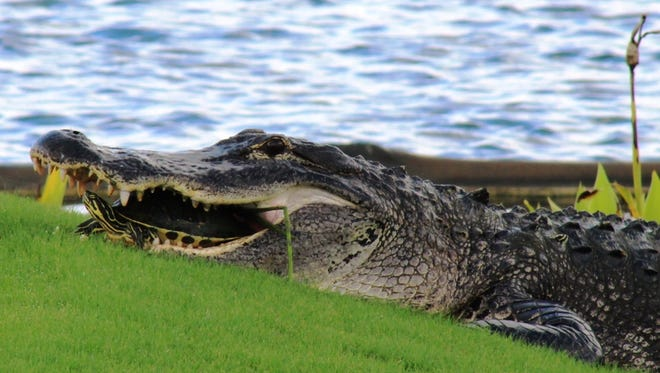This 8-foot gator was spotted at Colonial Country Club lounging next to the 18th green.  His meal plan was in place until a golf cart ventured close enough to scare the gator back into the lake.  When he spun to dive back into the water, the turtle flew out of his mouth and splashed down about ten feet away, safe and sound.