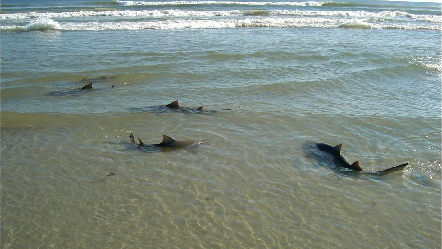 Could sharks be heading for extinction for Shark fishing myrtle beach