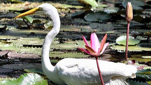 An egret among the lily pads at White City Park in Fort Pierce. Reader-submitted photo.