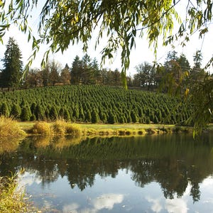 where to get you cut christmas trees in salem area - Mountain King Christmas Trees